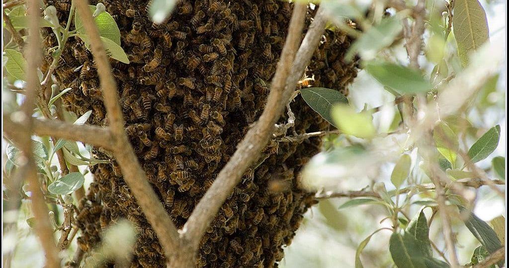 beeswarm